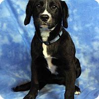 Adopt A Pet :: ELLIE - Westminster, CO
