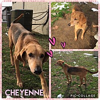 Adopt A Pet :: Cheyenne - Colonial Heights animal shelter, VA