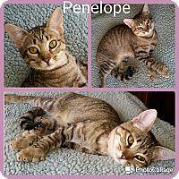 Adopt A Pet :: Penelope - Arlington/Ft Worth, TX