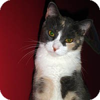 "Domestic Shorthair Cat for adoption in Round Rock, Texas - Princess ""P"""