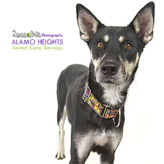 Shepherd (Unknown Type) Mix Dog for adoption in San Antonio, Texas - Rizzo