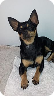 Chloe Adopted Puppy Miami Fl Miniature Pinscher