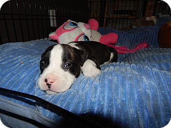 American Pit Bull Terrier Mix Puppy for adoption in San Diego, California - Finn