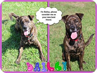 Labrador Retriever Mix Dog for adoption in Tampa, Florida - Bailey