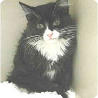 Adopt A Pet :: Spatzie - Mesa, AZ