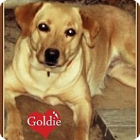 Adopt A Pet :: Goldie - Franklinton, NC