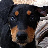 Adopt A Pet :: Baby Giulietta - Oakley, CA