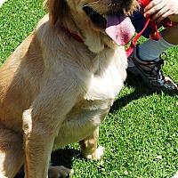Adopt A Pet :: Samson - West Los Angeles, CA