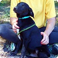 Adopt A Pet :: SESAME - pocket lab boy - Stamford, CT