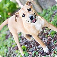 Adopt A Pet :: Lacey - Houston, TX