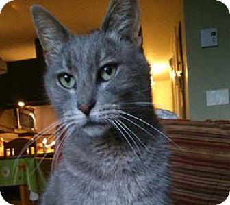 Domestic Shorthair Cat for adoption in Verdun, Quebec - Camelia