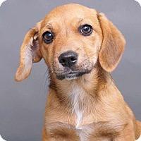 Adopt A Pet :: Babe - Sudbury, MA