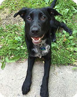 Labrador Retriever/Blue Heeler Mix Dog for adoption in Minneapolis, Minnesota - Digit