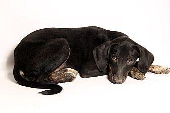 Hound (Unknown Type) Mix Puppy for adoption in St. Louis, Missouri - Trina HoundMix