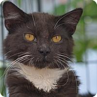 Adopt A Pet :: Chinchi - Brooklyn, NY