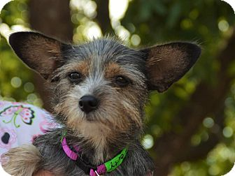 Yorkie, Yorkshire Terrier/Cairn Terrier Mix Dog for adoption in Denver, Colorado - Piper