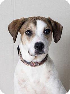 Hound (Unknown Type) Mix Dog for adoption in Tulsa, Oklahoma - Lou