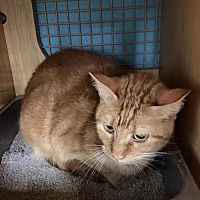 Domestic Shorthair Cat for adoption in Sunset, Louisiana - Wade