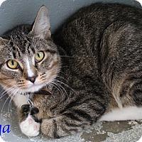 Domestic Shorthair Kitten for adoption in Bradenton, Florida - Tyga