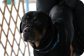Rottweiler/Mastiff Mix Dog for adoption in Tenafly, New Jersey - Titan