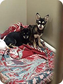 Chihuahua Mix Dog for adoption in Plymouth Meeting, Pennsylvania - Suzi