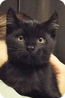 Domestic Shorthair Kitten for adoption in Grants Pass, Oregon - Zach