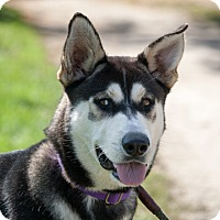 Siberian Husky Mix Dog for adoption in Harvard, Illinois - Pee Wee