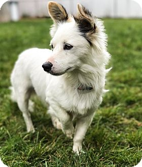 Pomeranian/Corgi Mix Dog for adoption in Staten Island, New York - Ikey