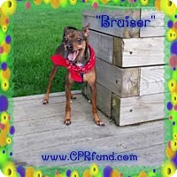 Miniature Pinscher Dog for adoption in Lowell, Indiana - Bruiser