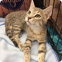 Adopt A Pet :: Seph - Mansfield, TX