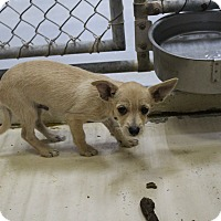 Chihuahua Mix Puppy for adoption in Odessa, Texas - A16 Benny