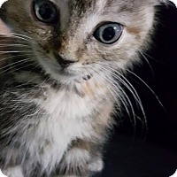 Adopt A Pet :: Sasha - Evansville, IN