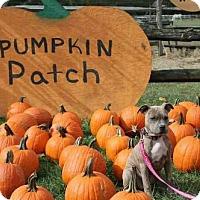 Adopt A Pet :: Shyla - Runnemede, NJ