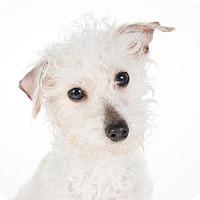 Adopt A Pet :: Clarissa - St. Louis Park, MN