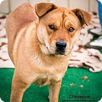 Adopt A Pet :: Cheyenne Meyer - Seattle, WA