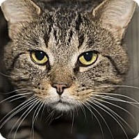 Domestic Shorthair Cat for adoption in Lombard, Illinois - Benji
