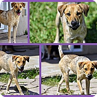 Pointer/Labrador Retriever Mix Dog for adoption in Homestead, Florida - Nenya