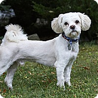 Adopt A Pet :: Chachi - Rigaud, QC