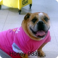 Adopt A Pet :: Honey - baltimore, MD