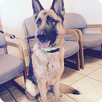 German Shepherd Dog Dog for adoption in Black Forest, Colorado - GSD Call