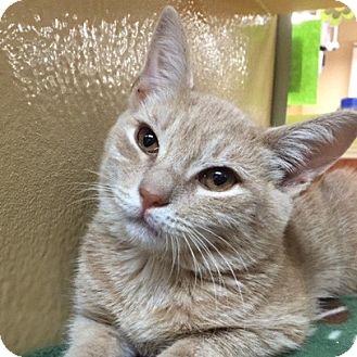 Domestic Shorthair Kitten for adoption in Long Beach, New York - Eggnog