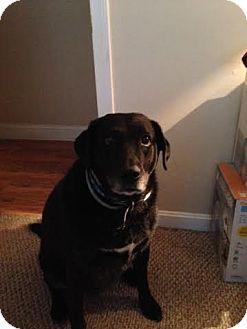 Labrador Retriever Mix Dog for adoption in Acushnet, Massachusetts - Brandy