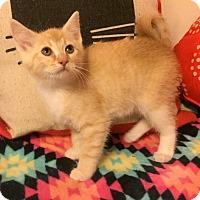 Adopt A Pet :: Redkin - Addison, IL