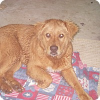 Golden Retriever Mix Dog for adoption in Buchanan Dam, Texas - Luke