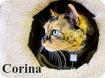 Domestic Shorthair Cat for adoption in Hamilton, Montana - Corina