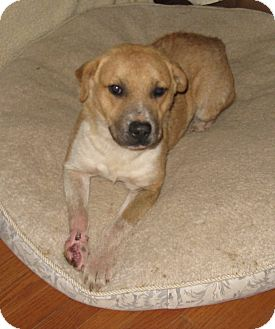 Boxer/Shepherd (Unknown Type) Mix Dog for adoption in Somerset, Kentucky - Rossy-ADOPTED