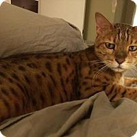 Adopt A Pet :: Hobbes - Dallas, TX