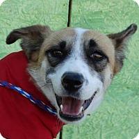 Adopt A Pet :: Spice Girl - Vacaville, CA