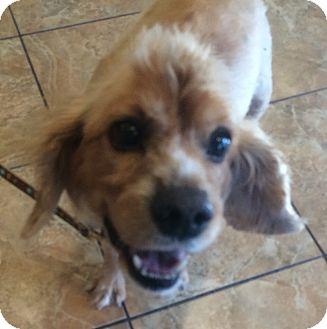 Cocker Spaniel Mix Dog for adoption in Oak Ridge, New Jersey - Leo