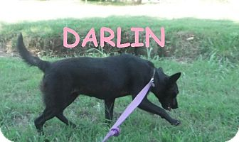 Labrador Retriever Dog for adoption in Batesville, Arkansas - Darlin